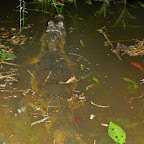 A 'Cayman' Alligator about 6 feet long just in front of us.