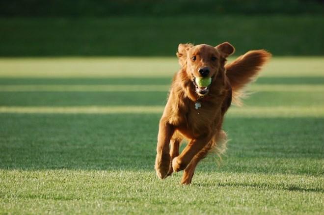Giống chó Golden Retriever thuần chủng. Cách nuôi chó Golden ở Việt Nam