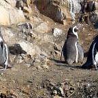 Humboldt penguins!