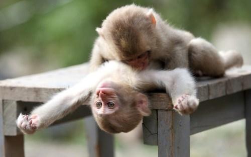 Monkey Wallpapers