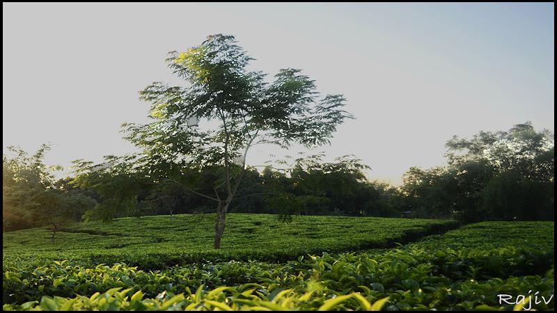 Tea-plantations in Silchar