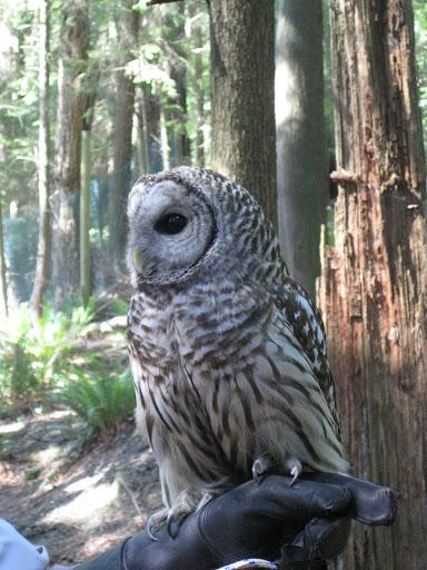 Capilano Suspension Bridge owl