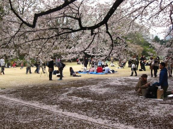 Cherry blossom parties in Shinjuku Gardens, Tokyo