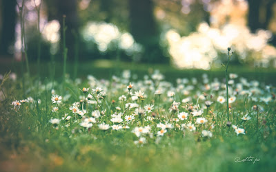 Daisy-Daisy-wallpaper_byAEtherPie