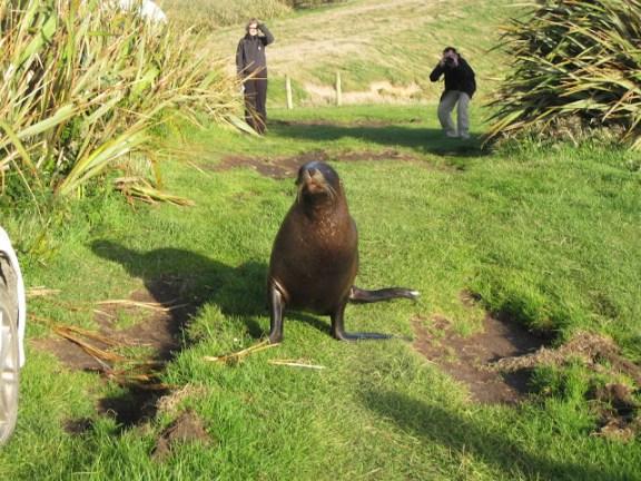Curio Bay sea lion, South Island, New Zealand