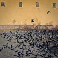 pigeons feeding frenzy