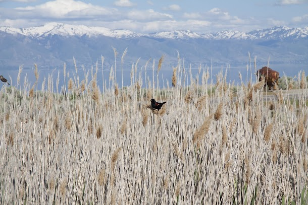 Bird in Rushes with Bison and Mountains in Distance.jpg