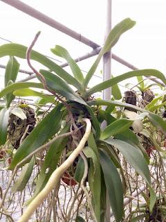 Hoa lan Ngọc Điểm - Nghinh Xuân - Đai Châu rừng trồng thuần tại vườn - 10
