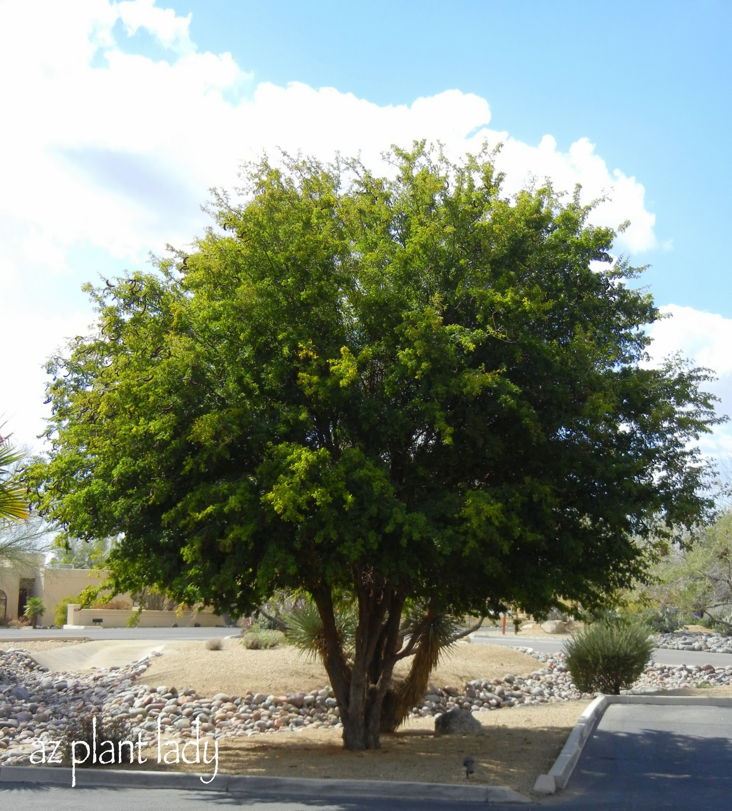 Prodigious Same Which Is Now Being Maintained As I Had Which Would You Poodled Or Ramblings From A Now If Those Reasons Do Not Convince Please Look At Photo Below houzz-02 Texas Ebony Tree