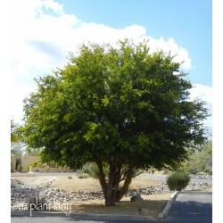 Small Crop Of Texas Ebony Tree