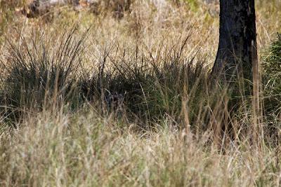 Kanha National Park: Female Royal Bengal tiger hiding in tall grass by Jonas Tonboe Christiansen.