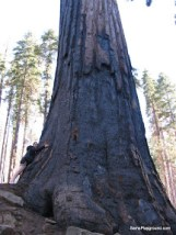 Giant Sequoia Trees - Mariposa Grove - Yosemite National Park-7.JPG