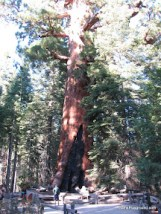 Grizzly Giant - Mariposa Grove-1.JPG