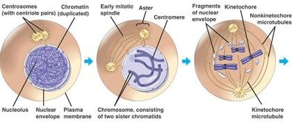 mitosis 1 profase