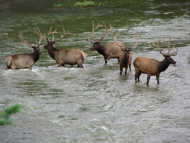 Elk in the River