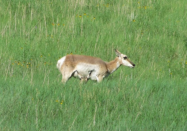 Pronghorn & baby