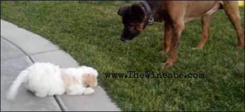 cavachon puppy and german shepard