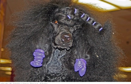 'Standard Poodle' photo (c) 2008, Llima Orosa - license: http://creativecommons.org/licenses/by-nd/2.0/