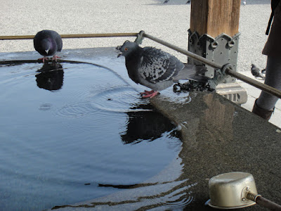 Pigeons looking innocent