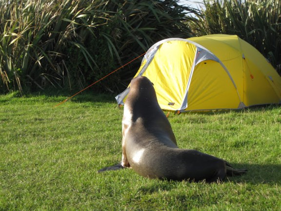Sea lion on Curio Bay campground, South Island, New Zealand