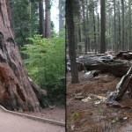 Trump Orders New EPA To Use HAARP Weather Machine To Topple Giant Sequoia Tunnel Tree in California
