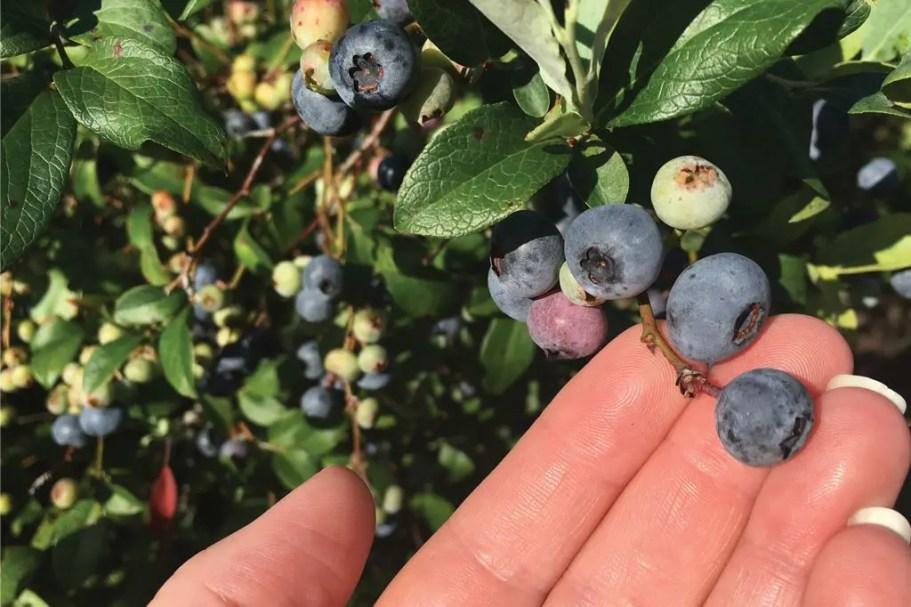 blueberriesweb