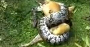 VIDEO: Man Saves Dog From Coiled Clutches Of Massive Python