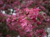 2011_04_cherry_blossoms-56