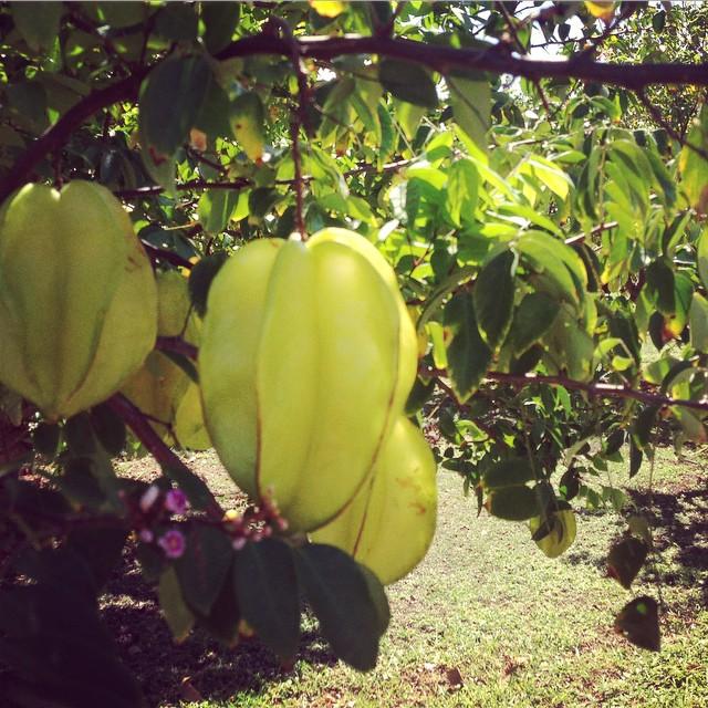 Im Sternfruchtgarten. #carambola. #familytime #Sternfrucht #Garten #StKitts #VitaminC