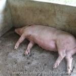 Bogo_PiggyFarm (22)