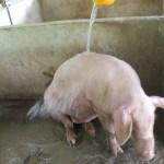 Bogo_PiggyFarm (53)