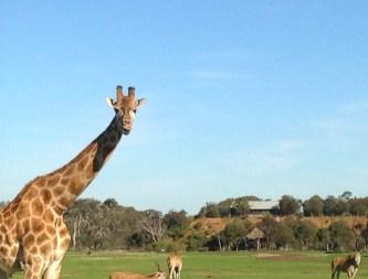 Life in Camelot, Travel Theme: Grassy, Giraffe, Werribee Open Plain Zoo