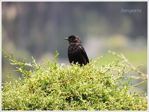 Coonoor Bird