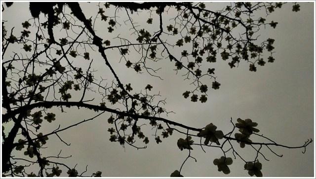 Sandakphu_Magnolia_Branch