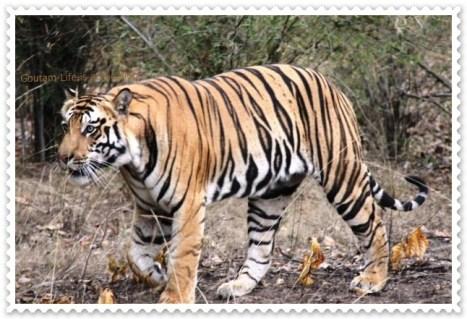 Bandhavgarh Tiger Trail 1