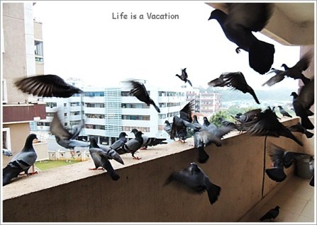 Pigeons at Home