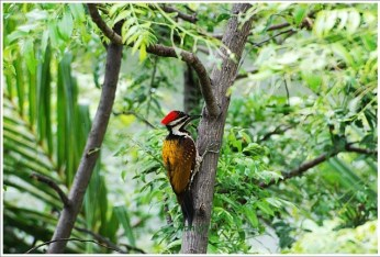 Botanical Garden Kolkata -Woodpecker at Work