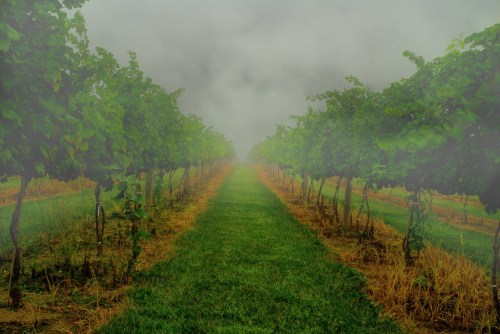 two rows of grape vines growing, one on either side, with fog obscuring the rest of the vineyard and the surrounding countryside.