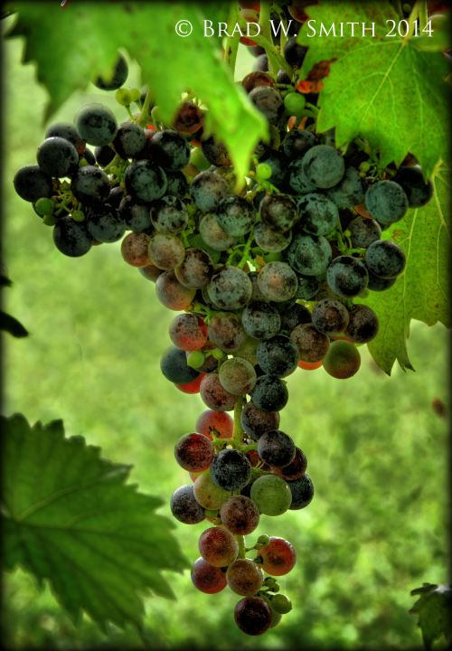 cluster of grapes on vine, some green, some red, some deep purple.