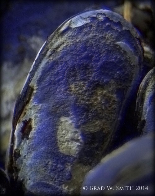 purple blue mussel shell, mottled gray