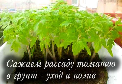 Сажаем рассаду томатов в грунт