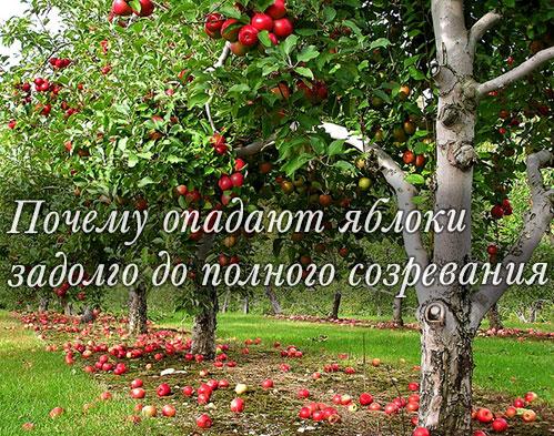 Причины опадания яблок
