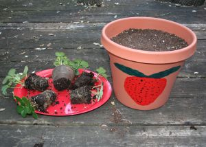 Image shows a tray with 5 strawberry plants taken out of their pots and ready to be transplanted next to a large pot filled with soil.