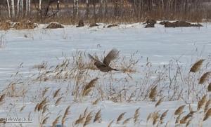 Еще фазан