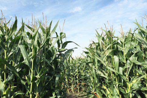 Edmonton Corn Maze