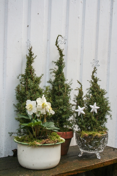 mini juletrær av eine