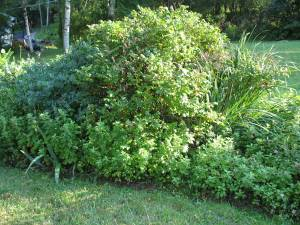 overgrown perennial bed