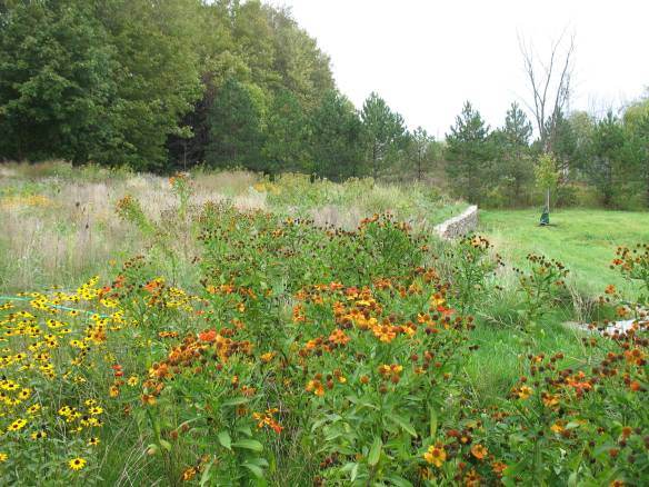 Helenium and Rudbeckia in Meadow