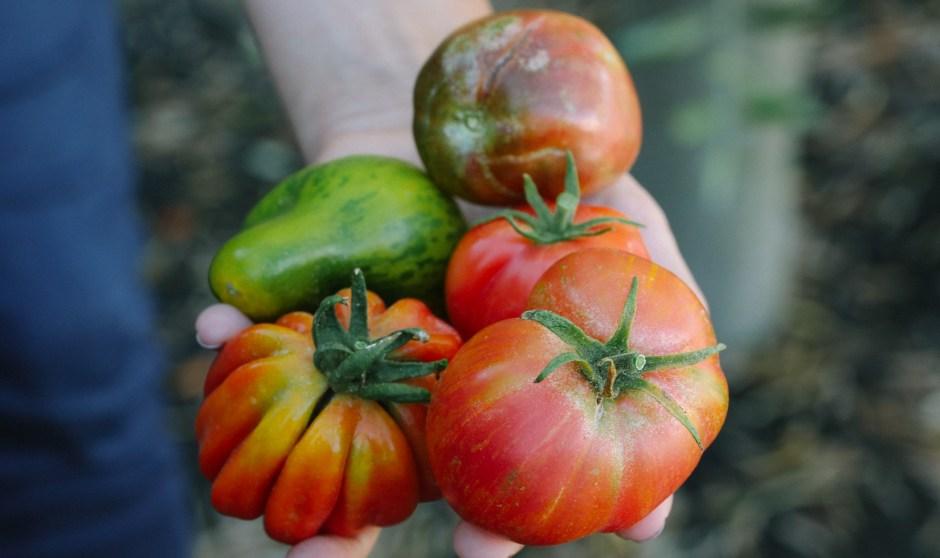 Heirloom Tomatoes at Jordan Winery
