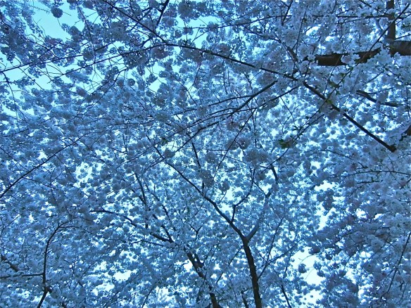 The blooms almost cover the entire sky ... wish I could tell you the different varieties